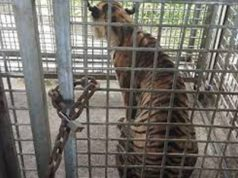 Harimau Bonita saat ini tengah direhabilitasi