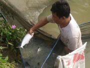 Salah seorang warga Desa Sitorajo Kari, Kecamatan Kuantan Tengah, Kabupaten Kuantan Singingi sedang memanen ikan Patin.